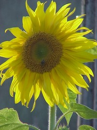 sunflower-single-yellow1